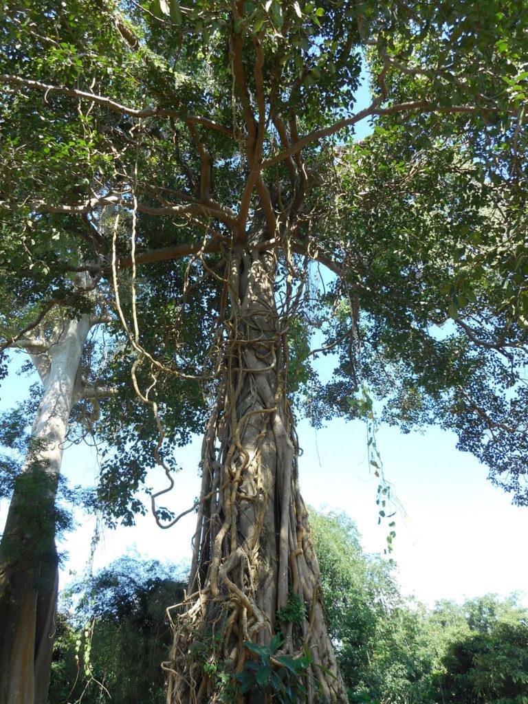arbre_laos